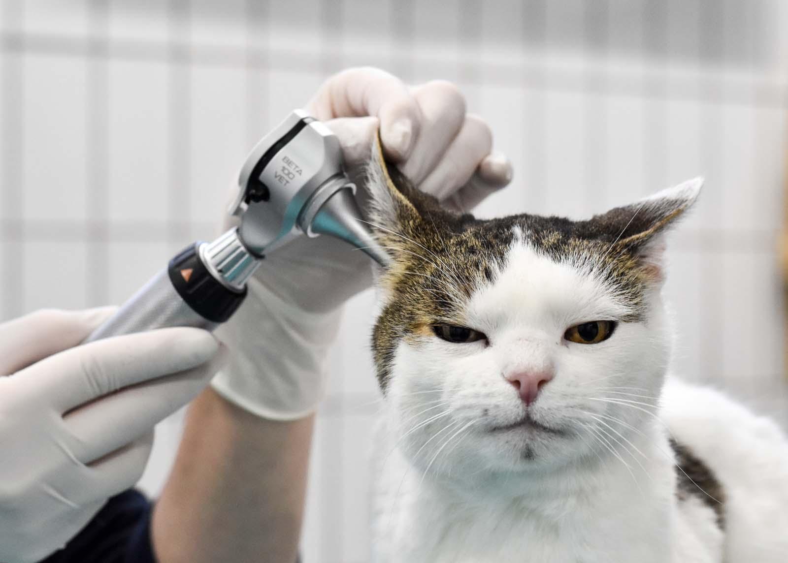 Ohren Katze Untersuchung - Tierklinik Mitterndorf